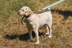 Vieux chien loyal sérieux sur une laisse en parc, chien pelucheux blanc Image stock