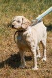 Vieux chien loyal sérieux sur une laisse en parc, chien pelucheux blanc Images stock