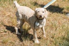 Vieux chien loyal sérieux sur une laisse en parc, chien pelucheux blanc Photo libre de droits