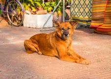 Vieux chien sur la rue de ville Chien jaune pelucheux se reposant au soleil Scène extérieure d'été avec le chien Image stock