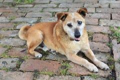 Vieux chien triste de race de mélange Photos stock