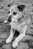 Vieux chien triste de race de mélange Photo stock
