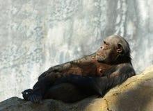 Vieux chimpanzé Images stock