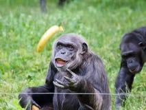 Vieux chimpanzé alimentant - portrait Photo libre de droits