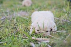 Vieux chiot de quatre semaines de golden retriever dehors un jour ensoleillé Photographie stock libre de droits