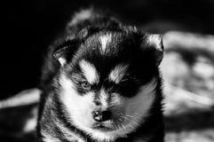 Vieux chiot de trois semaines de malamute d'Alaska Photographie stock