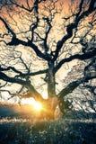 Vieux coucher du soleil d'arbre Photos libres de droits