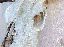 Vieux crâne de bétail Photographie stock libre de droits