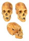 vieux crâne préhistorique d'isolement par être humain Images libres de droits