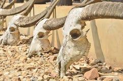Vieux crânes de buffle Images stock