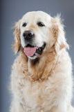 Vieux crabot de chien d'arrêt d'or. Photo stock