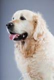 Vieux crabot de chien d'arrêt d'or. Photo libre de droits