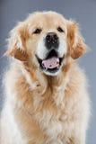 Vieux crabot de chien d'arrêt d'or. Image libre de droits