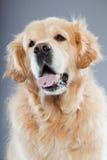 Vieux crabot de chien d'arrêt d'or. Photos libres de droits