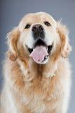 Vieux crabot de chien d'arrêt d'or d'isolement. Image libre de droits