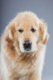 Vieux crabot de chien d'arrêt d'or d'isolement. Photo libre de droits