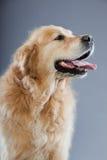 Vieux crabot de chien d'arrêt d'or d'isolement. Photo stock