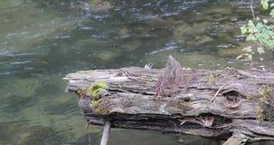 Vieux et cassé tronc d'arbre sur le fond de la rivière dans la forêt banque de vidéos