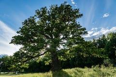 Vieux et inextricable chêne avec la lumière du soleil passant par la branche photographie stock