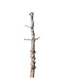 Vieux et mort arbre simple d'isolement photographie stock libre de droits
