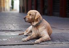 Vieux et solitaire chien d'arrêt sur une rue photo libre de droits