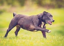 Vieux fonctionnement de chien Photographie stock libre de droits