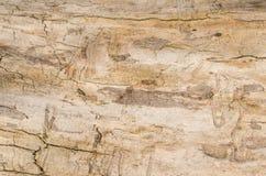 Vieux fond de tronçon d'arbre, texture en bois superficielle par les agents avec la section transversale d'un rondin de coupe Photos libres de droits
