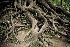 Vieux fonds tordus d'arbre Photographie stock