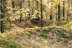 Vieux fossés de la deuxième guerre mondiale en Forest Since Second World War, Belarus Photos libres de droits