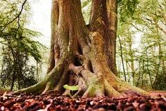Vieux géant forrest d'un arbre photo libre de droits