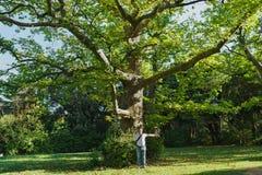 Vieux grand arbre plat ou lat d'arbre plat Platanus du palais de Vorontsov de parc dans Alupka image stock
