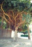 Vieux grand branchu peu commun un arbre Photographie stock libre de droits