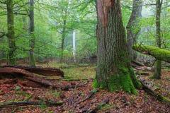 Vieux grand chêne cassé et stand brumeux à l'arrière-plan Photo libre de droits