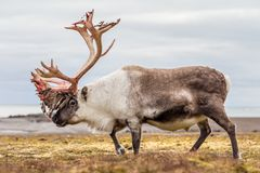 Vieux, grand renne arctique disposant à jeter ses andouillers Photo stock