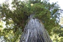 Vieux grand séquoia Photographie stock