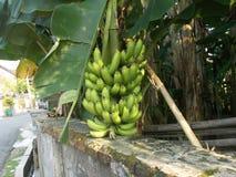 Vieux groupes de banane musa sur les usines d'arbre Image libre de droits