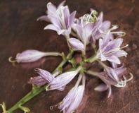 vieux hosta de cuivre de fleur bel en métal de milieux Photographie stock