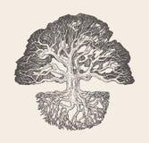 Vieux illustration de vecteur dessinée de racine de chêne par système illustration stock