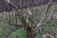 Vieux jardin abandonné Arbres et buissons secs Photo libre de droits