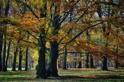 Vieux larges de feuille arbres de h?tre probablement en parc ? la lumi?re du jour d'apr?s-midi d'automne images libres de droits