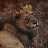 Vieux lion Image libre de droits