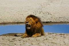 Vieux lion fatigué se reposant à côté de l'eau Image libre de droits
