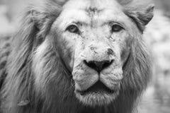 Vieux lion noir et blanc Photo stock