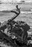 Vieux littoral d'arbre Images libres de droits