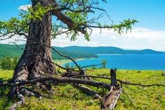 Vieux mélèze sur le rivage du lac Hovsgol image stock