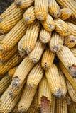 Vieux maïs d'or Photographie stock