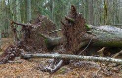 Vieux mensonge impeccable norvégien d'arbre cassé deux par vents images stock