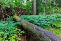Vieux mensonge impeccable norvégien d'arbre cassé par vent photographie stock libre de droits