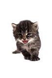 Vieux meow de quatre semaines de chaton Image libre de droits