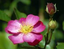 Vieux-mode colorée brillante Rose avec des bourgeons Image stock